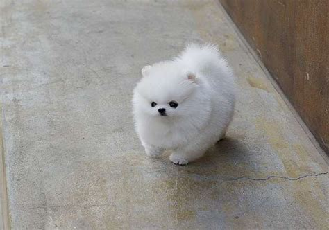 white pomeranian puppies for sale australia extremle stunning and teacup pomeranian puppies available for sale