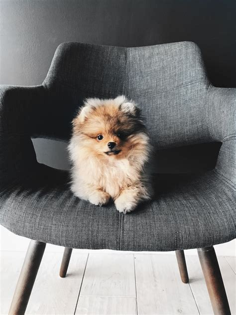 boo pomeranian price 17 best ideas about pomeranian boo on pomeranians pomeranian puppy and