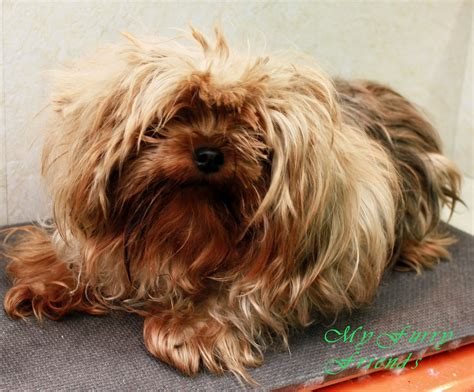 yorkie tipped ears yorkie with floppy ears haircuts breeds picture
