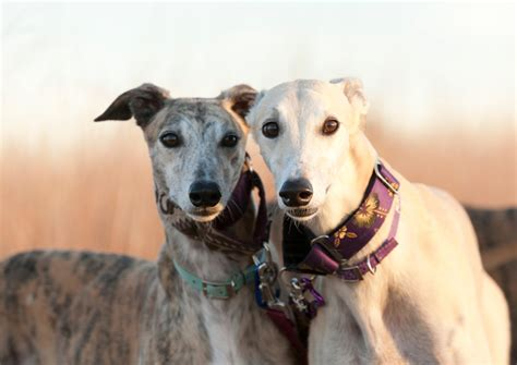 racing in florida breaking news florida residents can vote in november to end greyhound racing 183 a