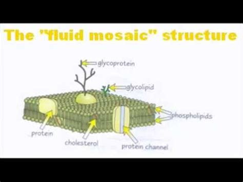 cell membranes  level  biology revision youtube