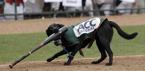 dogs baseball bat dogs fetching attention around baseball toronto