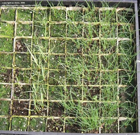Growing Grass From Seed by Grass And Bamboo Growing Ornamental Grasses From Seed 1