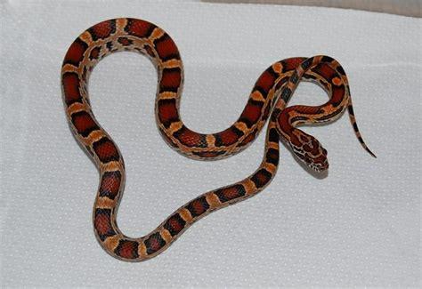 brown pattern snake beautiful red brown orange and black baby corn snake