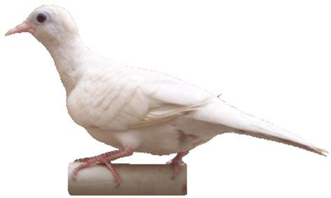 Vitamin Songvit foto burung perkutut trend burung