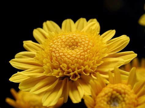 file big yellow mums jpg wikimedia commons