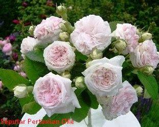 Mawar Moss 10 jenis bunga mawar terindah yang belum anda ketahui referensi ilmu seputar pertanian