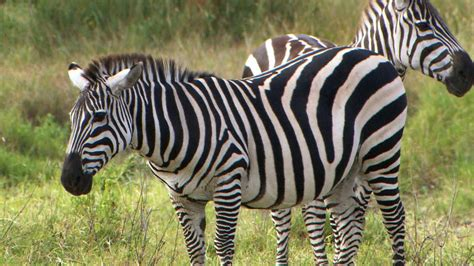 black zebra the truth behind whether zebras are black or white aol news