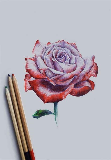 drawing rose pinteres