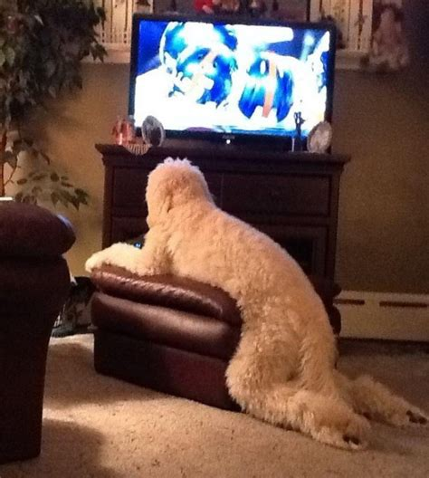 puppy tv 19 awkward dogs losing the battle with human furniture