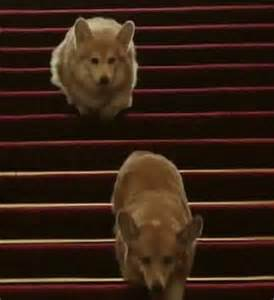 the queen s corgis the queen s corgis holly and willow could be the last for