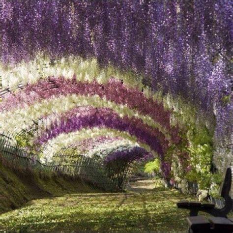 wisteria flower tunnel japan garden nature japan flowers pathway beautiful
