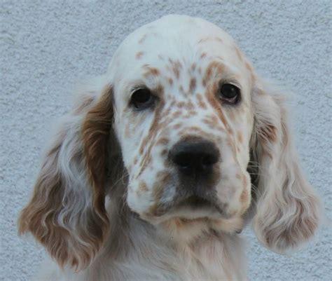english setter dog kennels 475 best english setters images on pinterest doggies