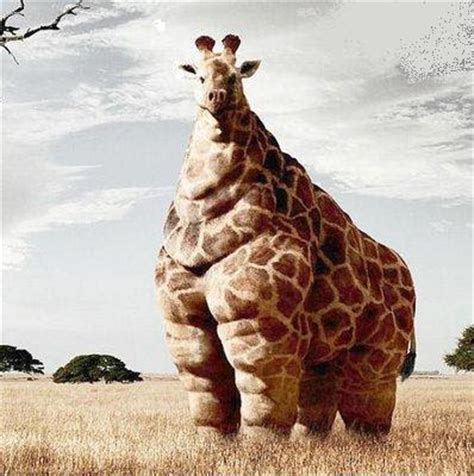 imagenes de jirafas gordas piadarts fotos de animais gordos