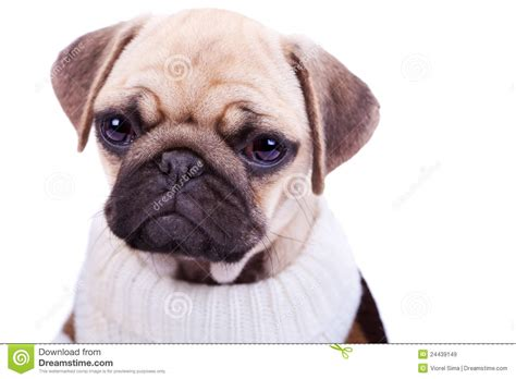sad pug puppy and sad sad pug puppy isolated on white royalty free stock images image