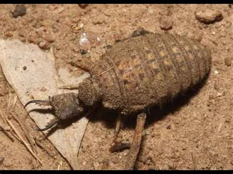 Antlion Facts And Information About Antlions