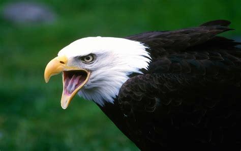 wallpaper 4k eagle eagle wallpaper