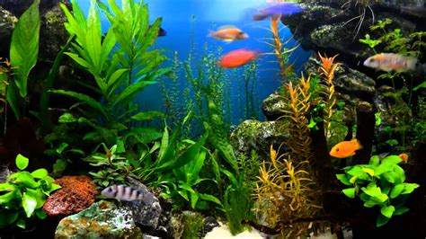 watch online fish tank 2009 full hd movie official trailer planted cichlid fish tank time lapse 1080p hd youtube