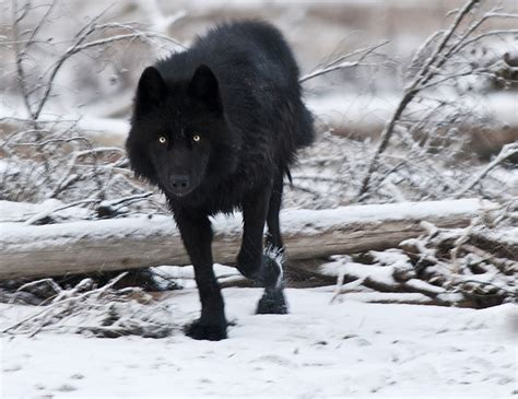 black wolf the melanistic black wolf naturely