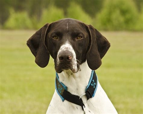 types of pointer dogs breeds pointer characteristics and personality dogalize