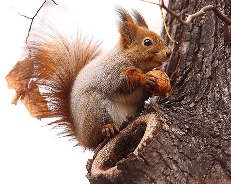 scogliattolo volante il coniglio il ratto il topo lo scoiattolo l istrice