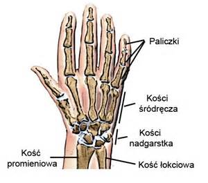 Anatomy of the hand sports clinic