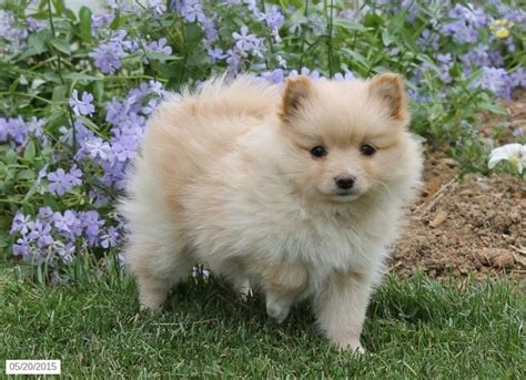 pomeranian pa 17 best images about pomeranian puppies for sale on