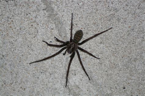 common backyard spiders common house spider flickr photo sharing