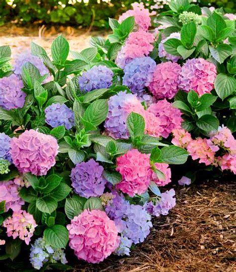 Freiland Hortensie Quot L A Dreamin 174 Quot 1 Pflanze G 252 Nstig