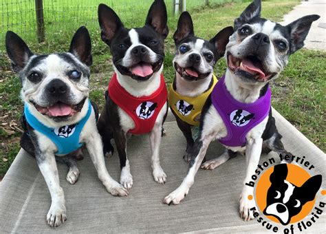 boston terrier puppies rescue boston terrier puppies adoption florida photo