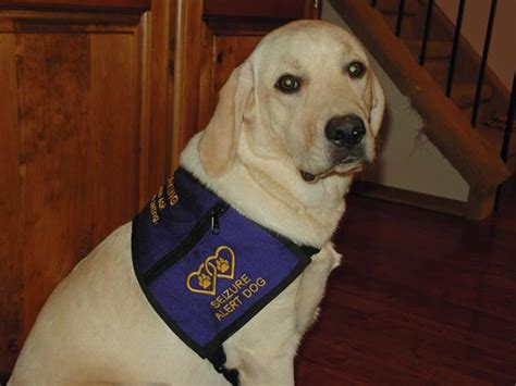 seizure dogs seizure alert dogs the epilepsy network ten