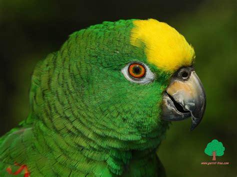 wallpaper of green parrot download wallpaper green parrot green parrot download