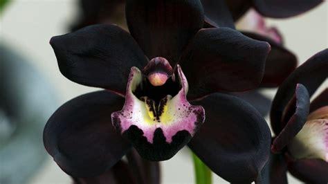 Imagenes Orquideas Negras | orqu 237 dea negra una planta 250 nica