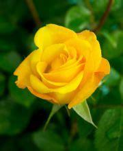 Blumen Günstig Kaufen 82 by Beetrose Goldelse Rosa Goldelse G 195 188 Nstig Kaufen