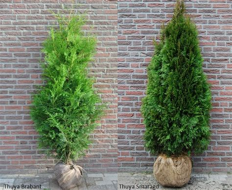 Thuja Brabant Oder Smaragd by Les Diff 233 Rences Entre Les Thuyas