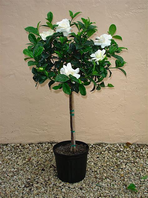 gardenia topiary tree gardenia topiary