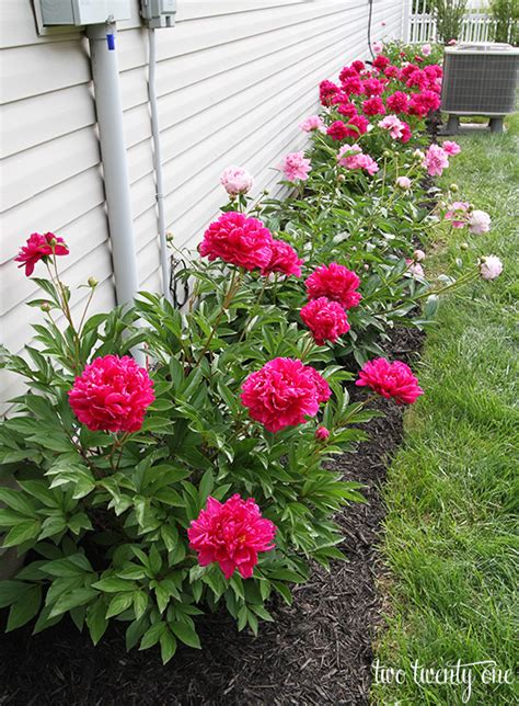 growing peonies best peony ideas