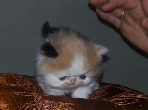 gatti persiani regalo gattini persiani a fucecchio kijiji annunci di ebay