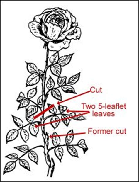1000 images about roses of sharon on pinterest hybrid