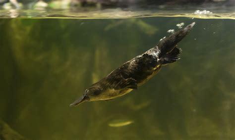 imagenes de ornitorrinco reales ornitorrinco archives supercurioso