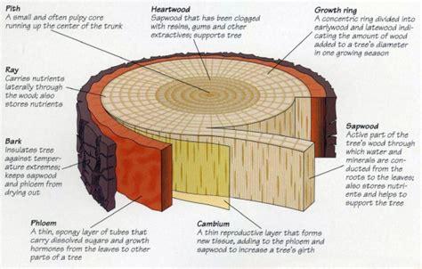 Tree Cross Section Diagram by Hardwood Vs Softwood Savatree