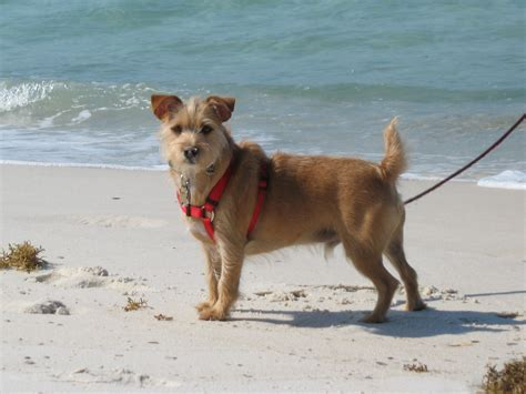 dogs site rustralian terrier information pictures reviews and q a greatdogsite