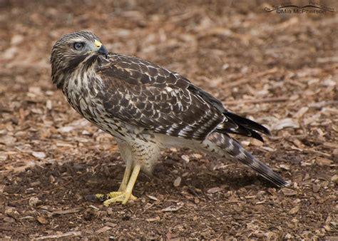 image gallery juvenile red shouldered hawk