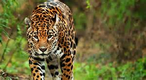 What Does A Jaguar Eat In The Tropical Rainforest Related Keywords Suggestions For Jaguar Food