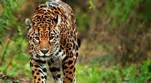 Jaguar Food Related Keywords Suggestions For Jaguar Food