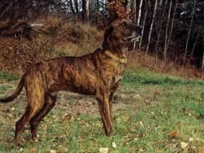plott hound dogs north carolina state dog plott hound dog breeds picture