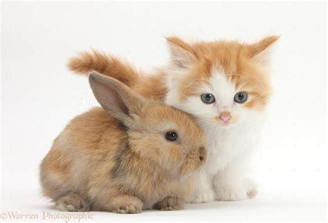 Pets: Ginger-and-white kitten baby rabbit photo - WP30891