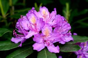 state flower of virginia west virginia rhododendron almost heaven pinterest