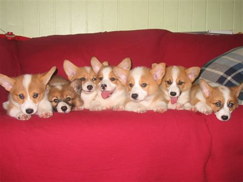 where to buy corgi puppies corgi puppy convention pets