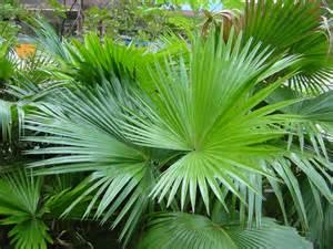 Shade Tropical Plants - livistona saribus rotundifolia 1l evergreens turn it tropical